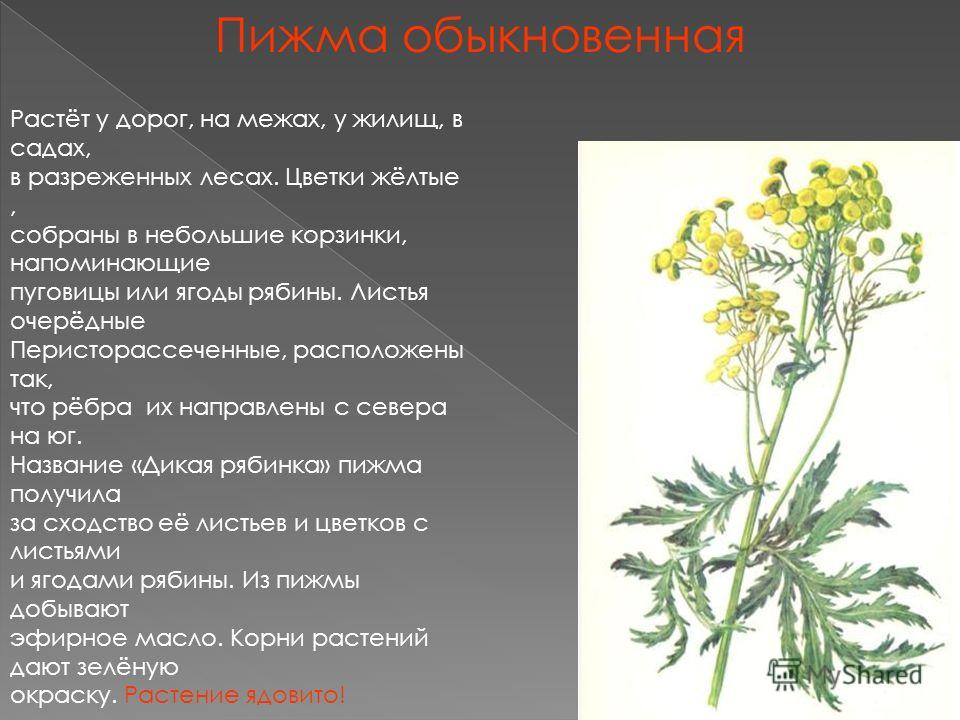 Пижма обыкновенная Растёт у дорог, на межах, у жилищ, в садах, в разреженных лесах. Цветки жёлтые, собраны в небольшие корзинки, напоминающие пуговицы или ягоды рябины. Листья очерёдные Перисторассеченные, расположены так, что рёбра их направлены с с