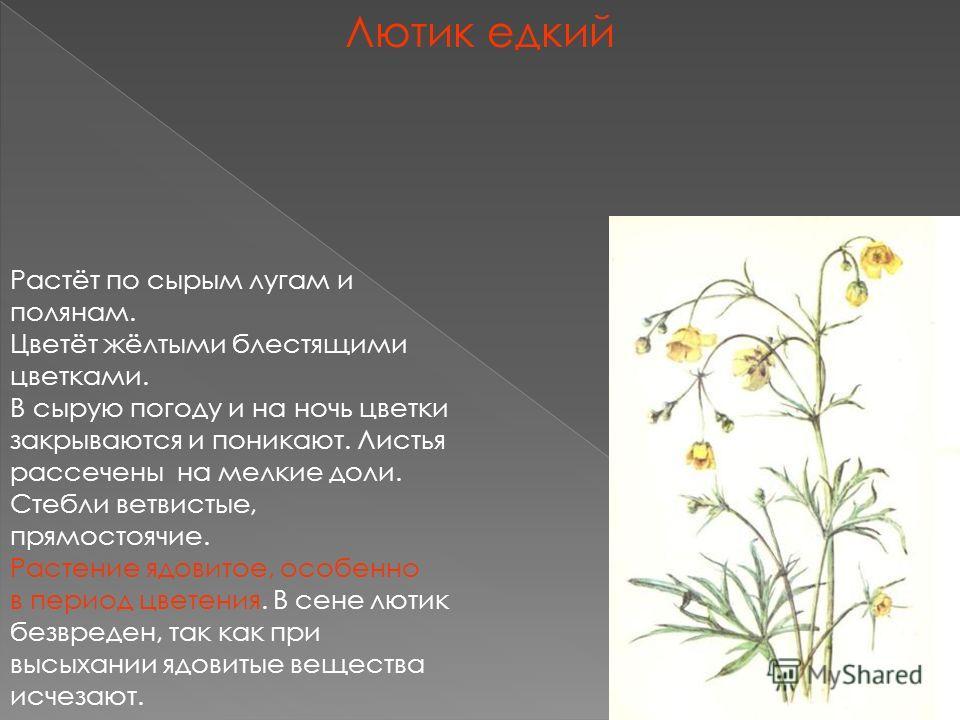 Лютик едкий Растёт по сырым лугам и полянам. Цветёт жёлтыми блестящими цветками. В сырую погоду и на ночь цветки закрываются и поникают. Листья рассечены на мелкие доли. Стебли ветвистые, прямостоячие. Растение ядовитое, особенно в период цветения. В