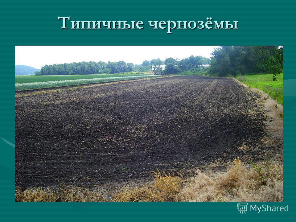Типичные чернозёмы