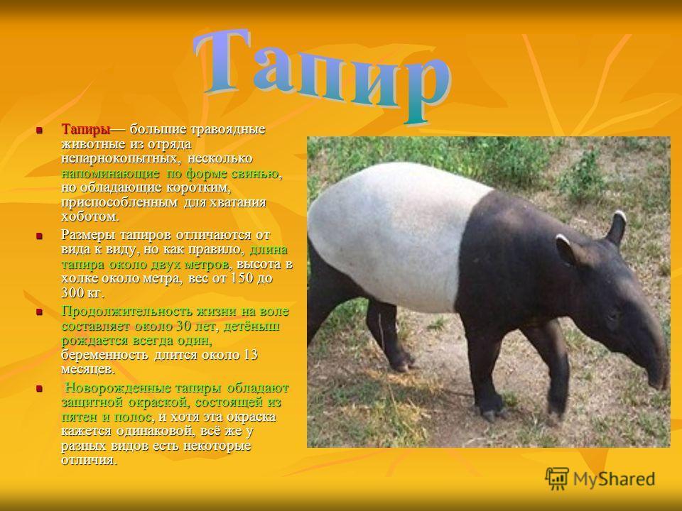 Тапиры большие травоядные животные из отряда непарнокопытных, несколько напоминающие по форме свинью, но обладающие коротким, приспособленным для хватания хоботом. Тапиры большие травоядные животные из отряда непарнокопытных, несколько напоминающие п