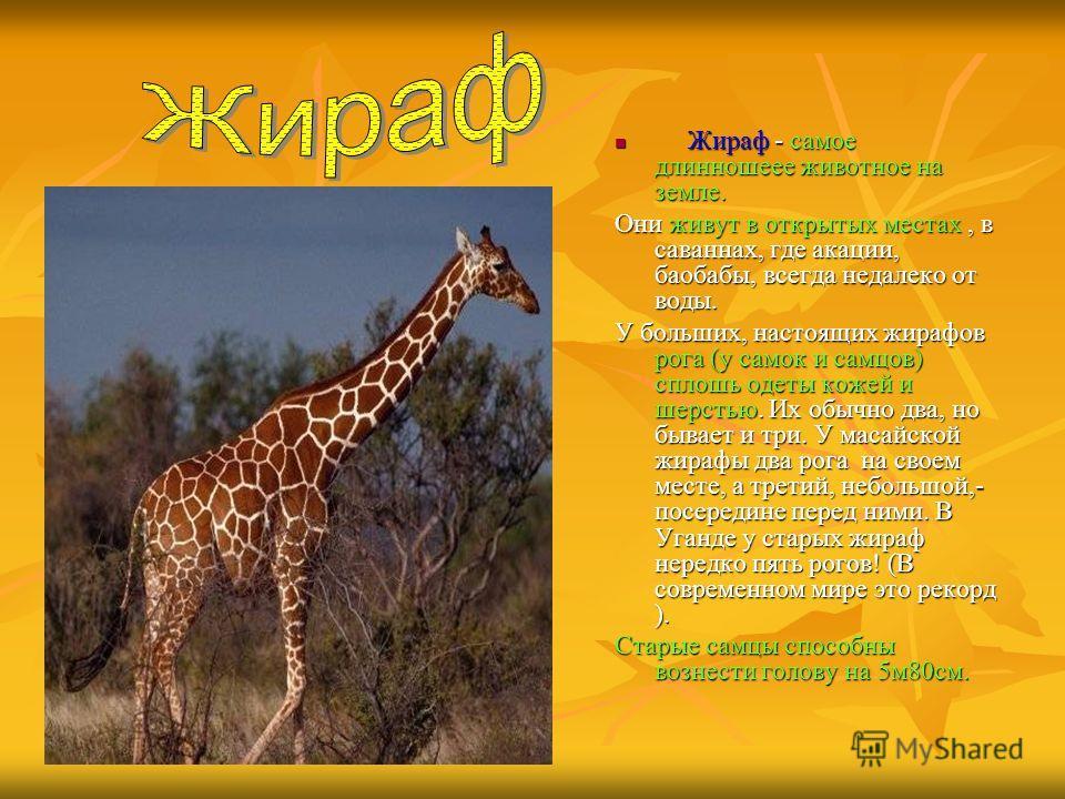 Жираф - самое длинношеее животное на земле. Жираф - самое длинношеее животное на земле. Они живут в открытых местах, в саваннах, где акации, баобабы, всегда недалеко от воды. У больших, настоящих жирафов рога (у самок и самцов) сплошь одеты кожей и ш