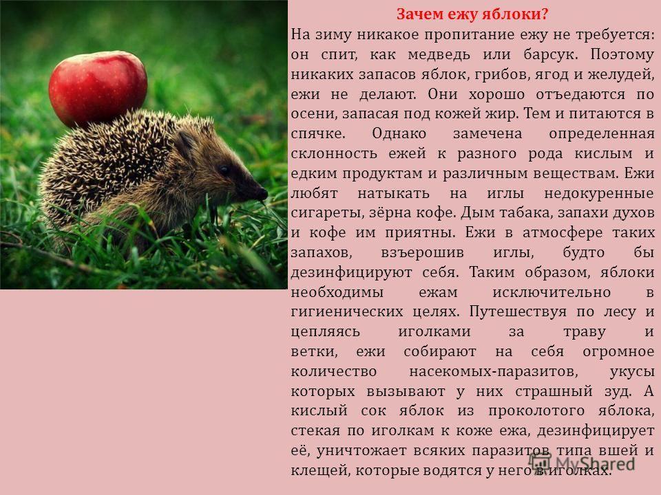 Зачем ежу яблоки? На зиму никакое пропитание ежу не требуется: он спит, как медведь или барсук. Поэтому никаких запасов яблок, грибов, ягод и желудей, ежи не делают. Они хорошо отъедаются по осени, запасая под кожей жир. Тем и питаются в спячке. Одна