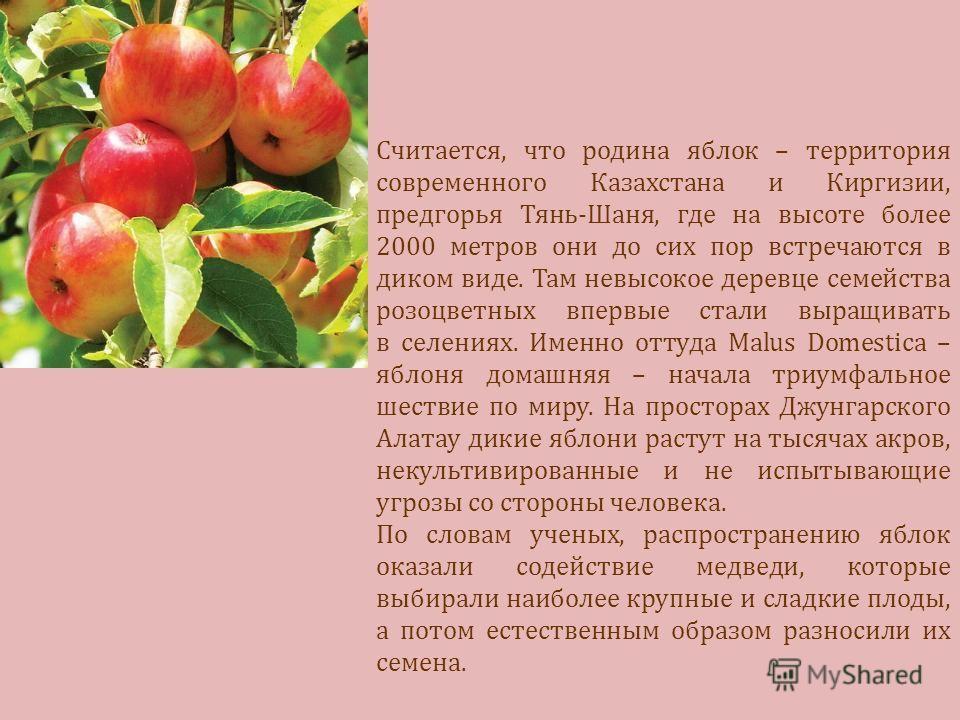 Считается, что родина яблок – территория современного Казахстана и Киргизии, предгорья Тянь-Шаня, где на высоте более 2000 метров они до сих пор встречаются в диком виде. Там невысокое деревце семейства розоцветных впервые стали выращивать в селениях