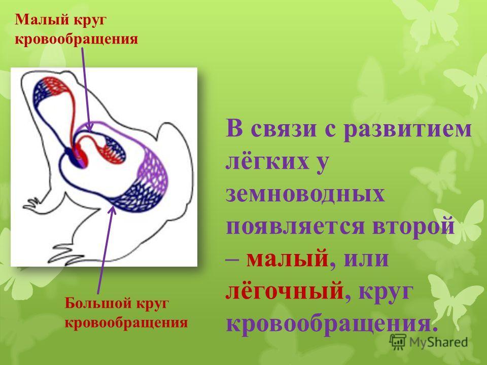 В связи с развитием лёгких у земноводных появляется второй – малый, или лёгочный, круг кровообращения. Большой круг кровообращения Малый круг кровообращения