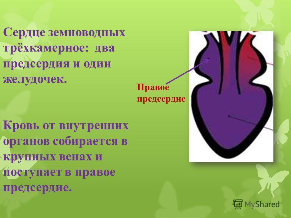 Сердце земноводных трёхкамерное: два предсердия и один желудочек. Кровь от внутренних органов собирается в крупных венах и поступает в правое предсердие. Правое предсердие