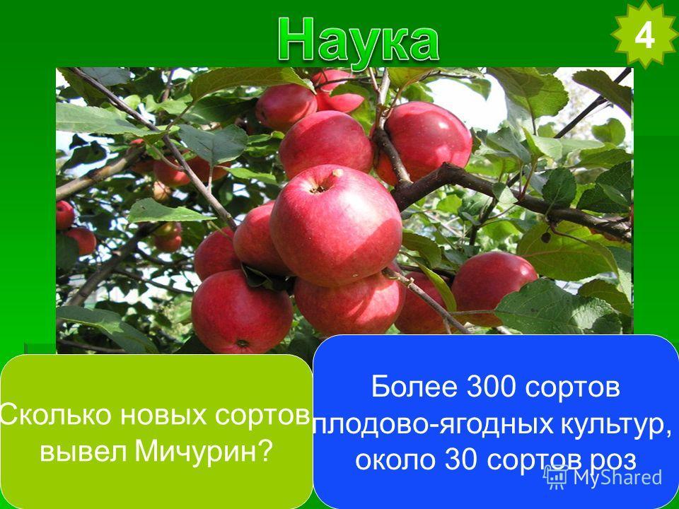 4 Сколько новых сортов вывел Мичурин? Более 300 сортов плодово-ягодных культур, около 30 сортов роз