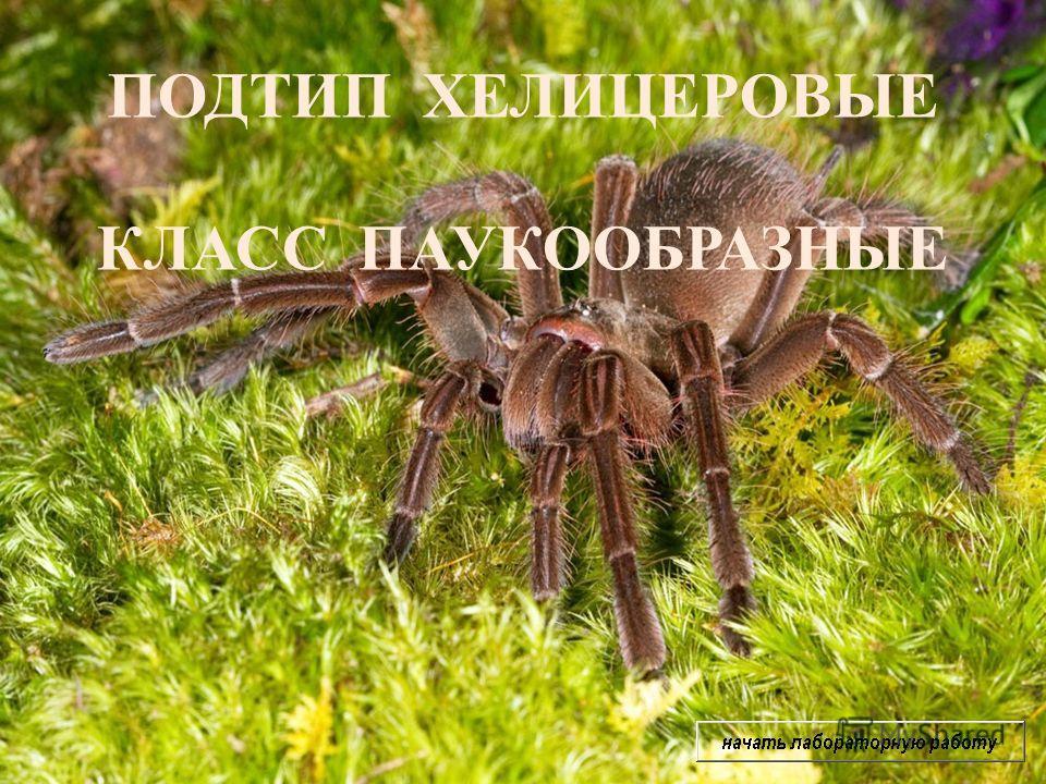 ПОДТИП ХЕЛИЦЕРОВЫЕ КЛАСС ПАУКООБРАЗНЫЕ