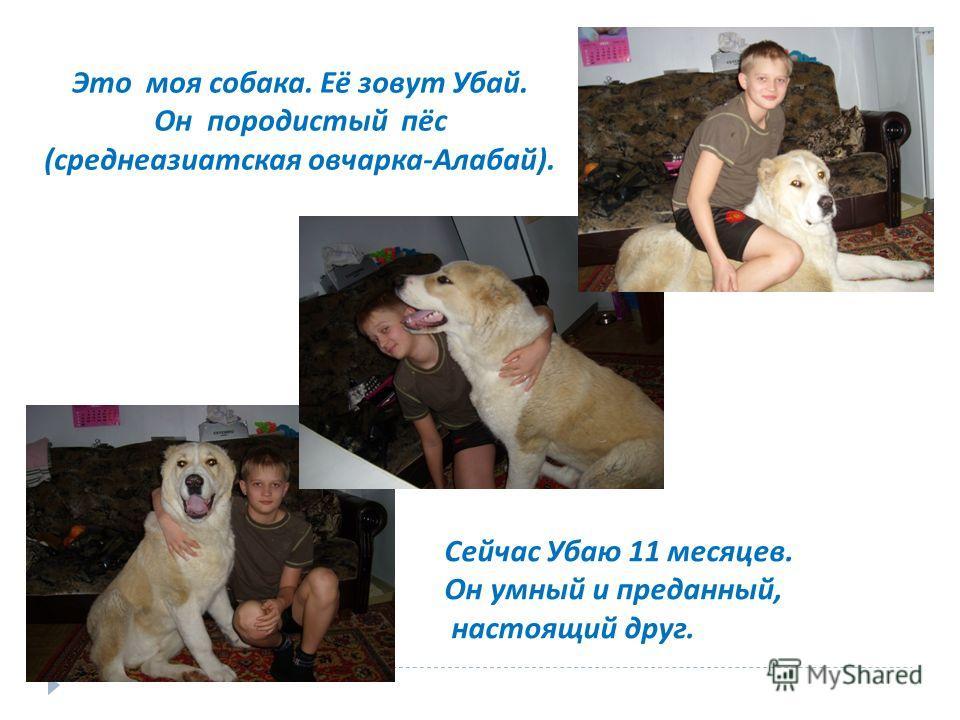 Это моя собака. Её зовут Убай. Он породистый пёс (среднеазиатская овчарка-Алабай). Сейчас Убаю 11 месяцев. Он умный и преданный, настоящий друг.