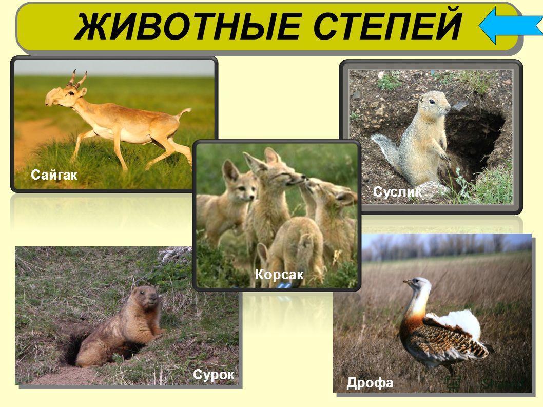 суслики ЖИВОТНЫЕ СТЕПЕЙ Дрофа Сурок Сайгак Суслик Корсак