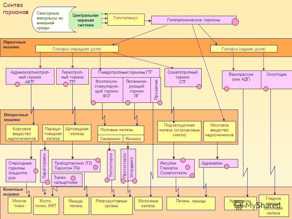 Гипоталамус Гипофиз (передняя доля) Соматотропный гормон СТГ Адренокортикотроп- ный гормон АКТГ Тиреотроп- ный гормон ТТГ Гонадотропные гормоны ГТГ Корковое вещество надпочечников Щитовидная железы Трийодтиронин (Т3) Тироксин (Т4) Поджелудочная желез