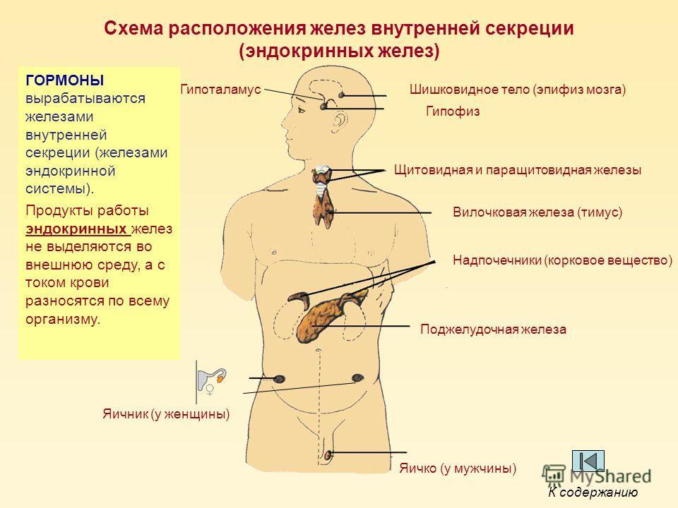 Схема расположения желез внутренней секреции (эндокринных желез) Шишковидное тело (эпифиз мозга) Гипофиз Щитовидная и паращитовидная железы Вилочковая железа (тимус) Надпочечники (корковое вещество) Поджелудочная железа Яичник (у женщины) Яичко (у му