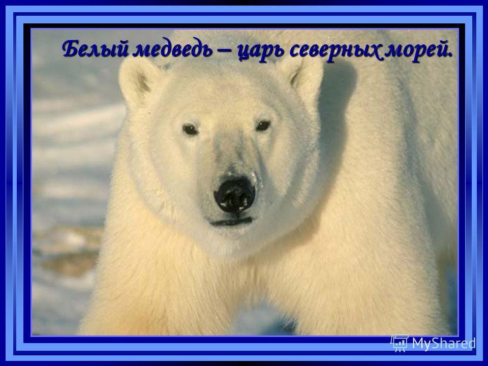 Белый медведь – царь северных морей.