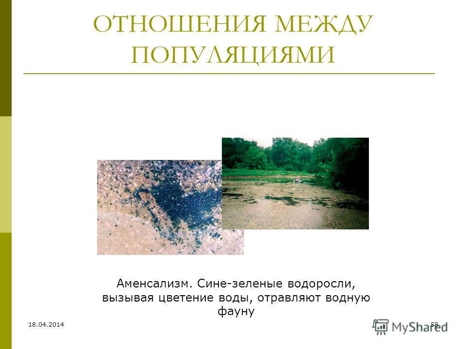 ОТНОШЕНИЯ МЕЖДУ ПОПУЛЯЦИЯМИ Аменсализм. Сине-зеленые водоросли, вызывая цветение воды, отравляют водную фауну 18.04.201458