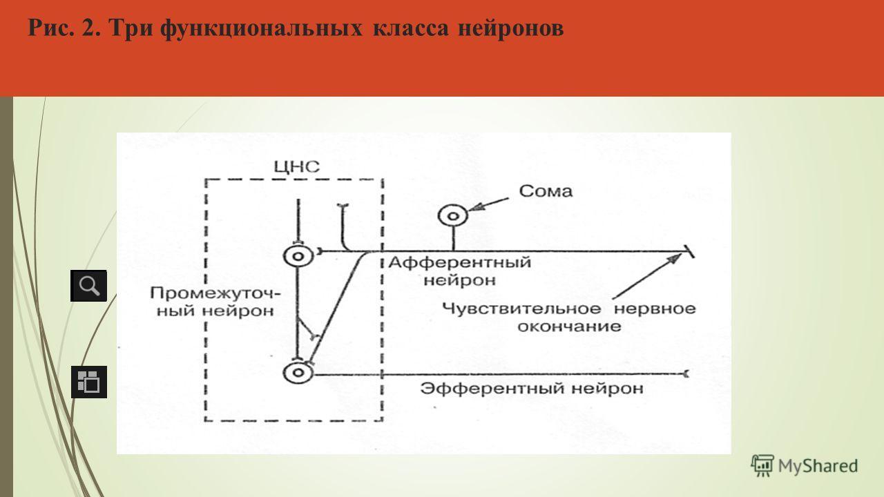 Рис. 2. Три функциональных класса нейронов