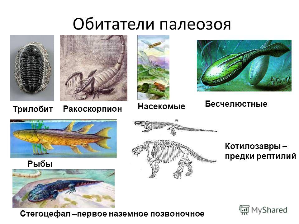 Обитатели палеозоя Трилобит Ракоскорпион Бесчелюстные Рыбы Стегоцефал –первое наземное позвоночное Котилозавры – предки рептилий Насекомые