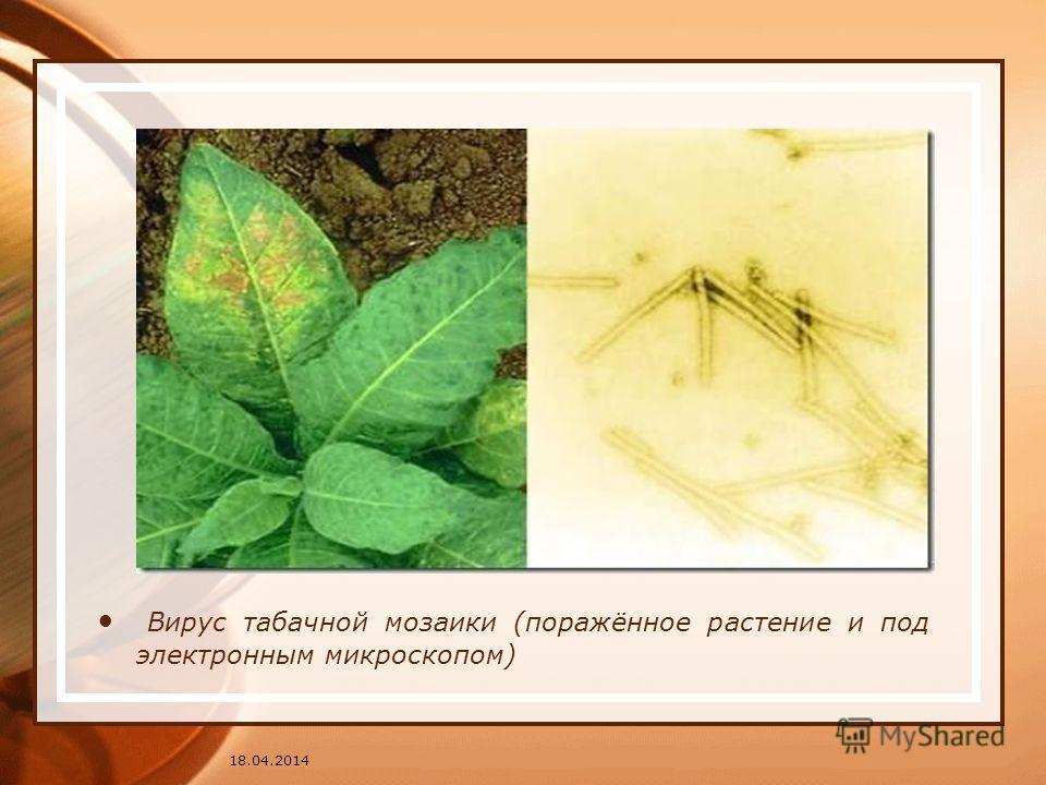 Вирус табачной мозаики (поражённое растение и под электронным микроскопом) 18.04.2014