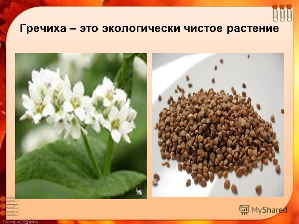 Гречиха – это экологически чистое растение