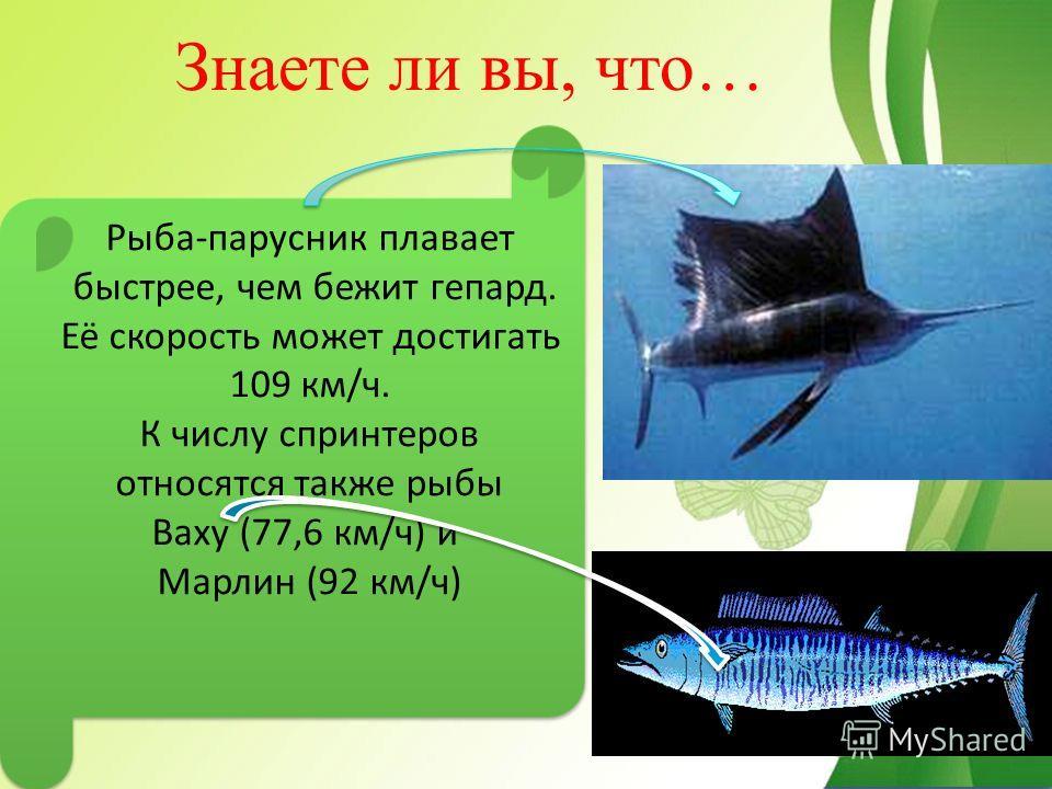 Знаете ли вы, что… Рыба-парусник плавает быстрее, чем бежит гепард. Её скорость может достигать 109 км/ч. К числу спринтеров относятся также рыбы Ваху (77,6 км/ч) и Марлин (92 км/ч) Рыба-парусник плавает быстрее, чем бежит гепард. Её скорость может д