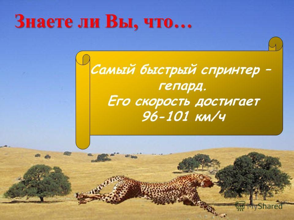 Знаете ли Вы, что… Самый быстрый спринтер – гепард. Его скорость достигает 96-101 км/ч