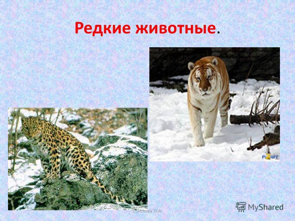 Редкие животные. Соколова О.А.
