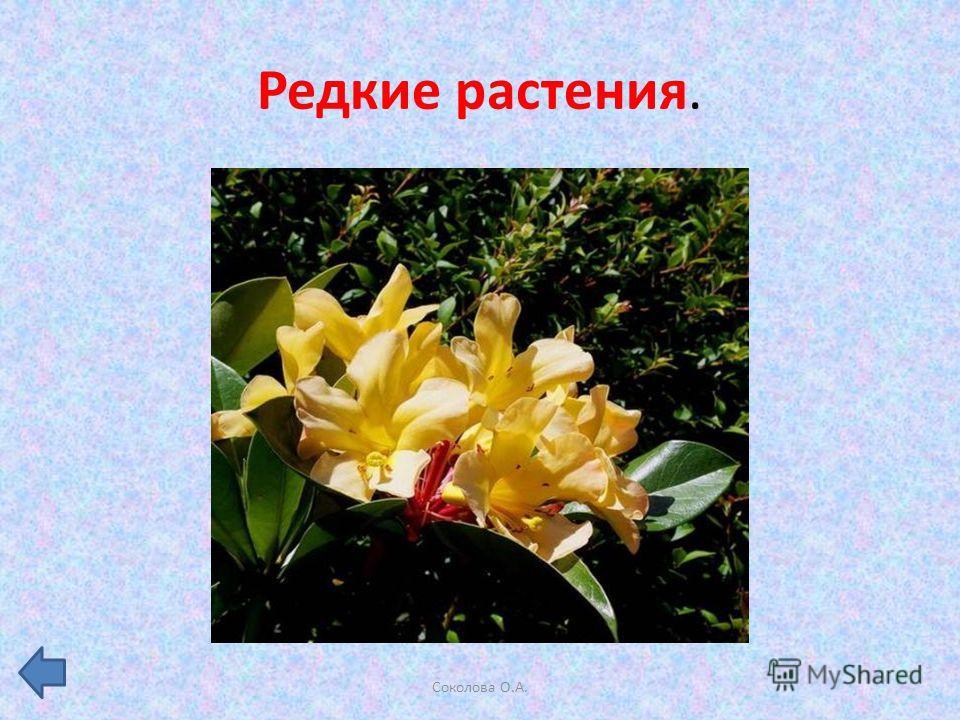 Редкие растения. Соколова О.А.