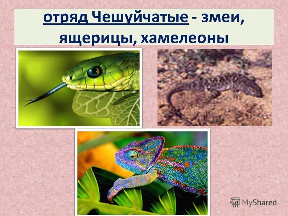 отряд Чешуйчатые - змеи, ящерицы, хамелеоны