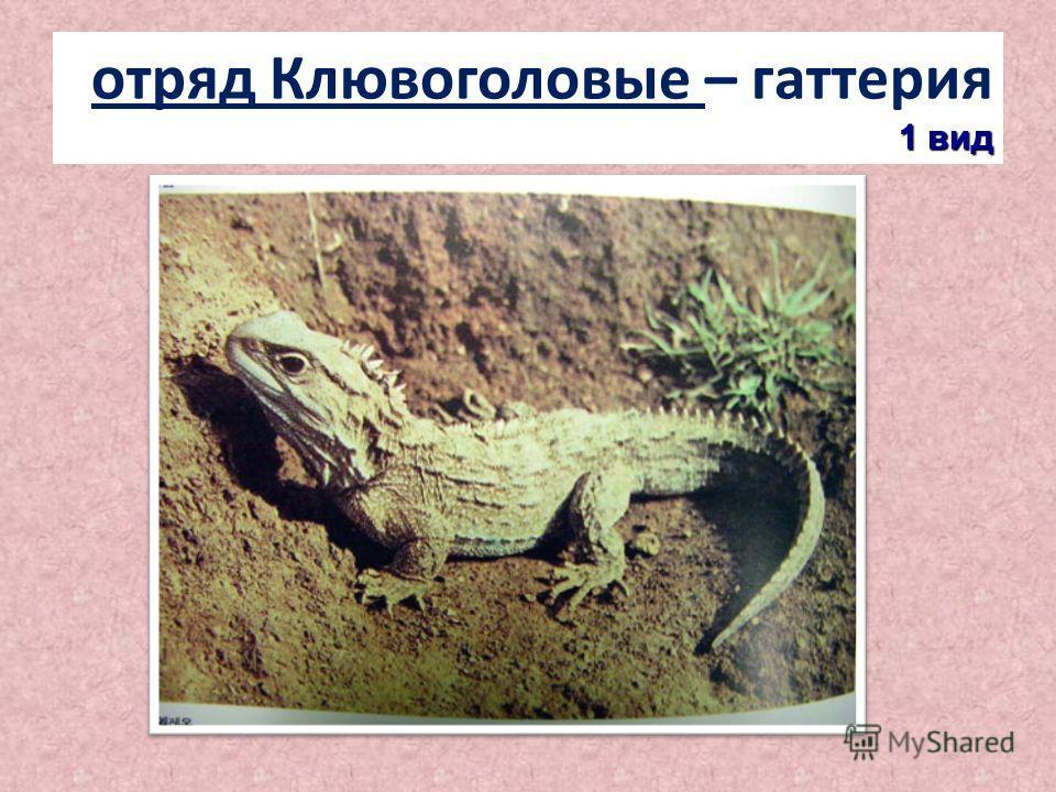 1 вид отряд Клювоголовые – гаттерия 1 вид