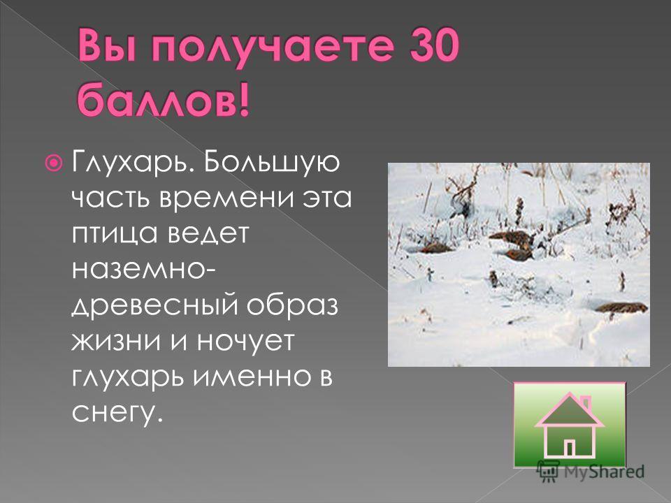 Глухарь. Большую часть времени эта птица ведет наземно- древесный образ жизни и ночует глухарь именно в снегу.