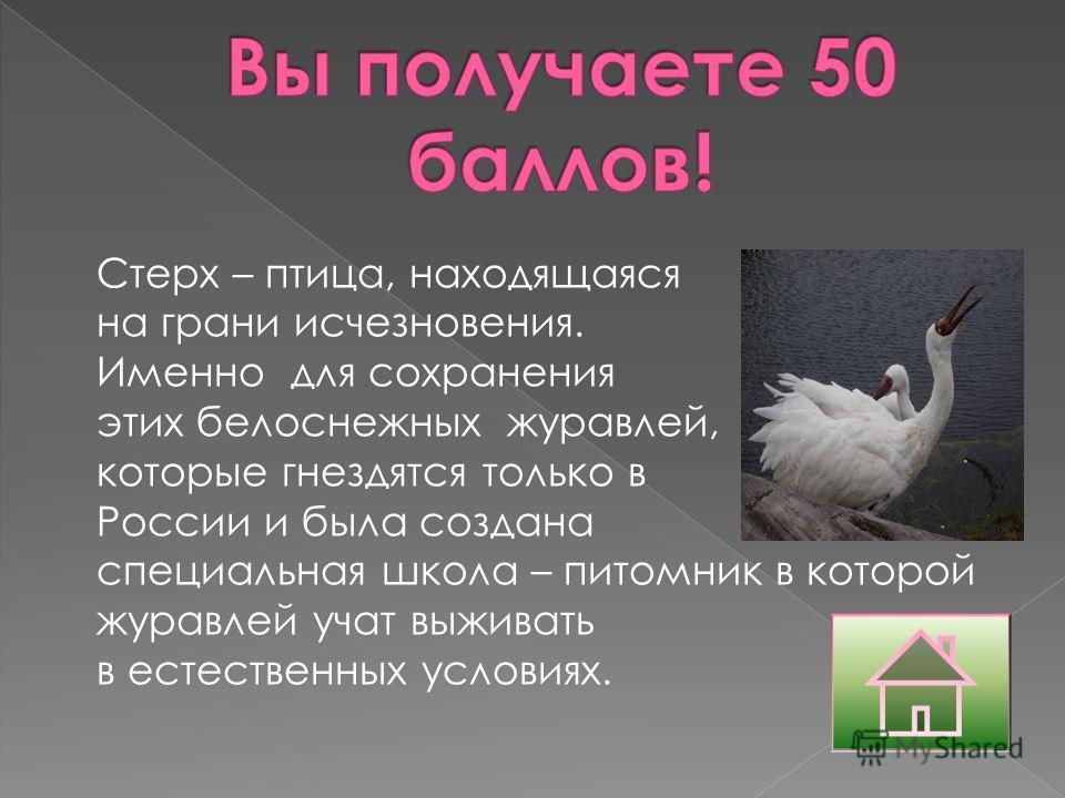 Стерх – птица, находящаяся на грани исчезновения. Именно для сохранения этих белоснежных журавлей, которые гнездятся только в России и была создана специальная школа – питомник в которой журавлей учат выживать в естественных условиях.