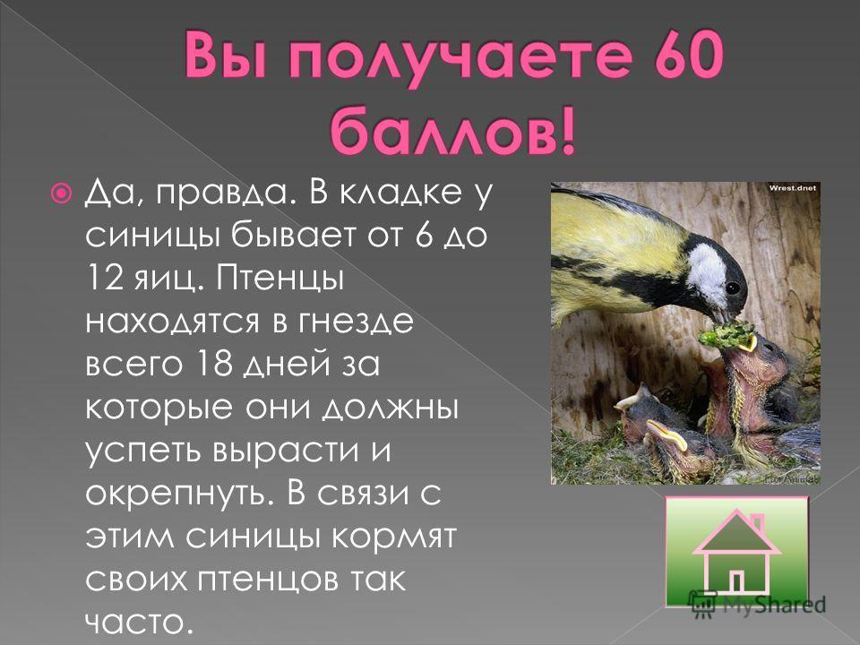 Да, правда. В кладке у синицы бывает от 6 до 12 яиц. Птенцы находятся в гнезде всего 18 дней за которые они должны успеть вырасти и окрепнуть. В связи с этим синицы кормят своих птенцов так часто.