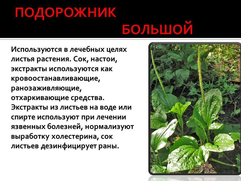 Используются в лечебных целях листья растения. Сок, настои, экстракты используются как кровоостанавливающие, ранозаживляющие, отхаркивающие средства. Экстракты из листьев на воде или спирте используют при лечении язвенных болезней, нормализуют вырабо