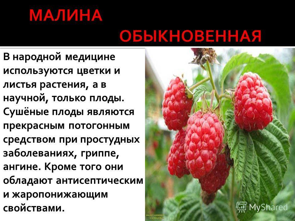 В народной медицине используются цветки и листья растения, а в научной, только плоды. Сушёные плоды являются прекрасным потогонным средством при простудных заболеваниях, гриппе, ангине. Кроме того они обладают антисептическим и жаропонижающим свойств