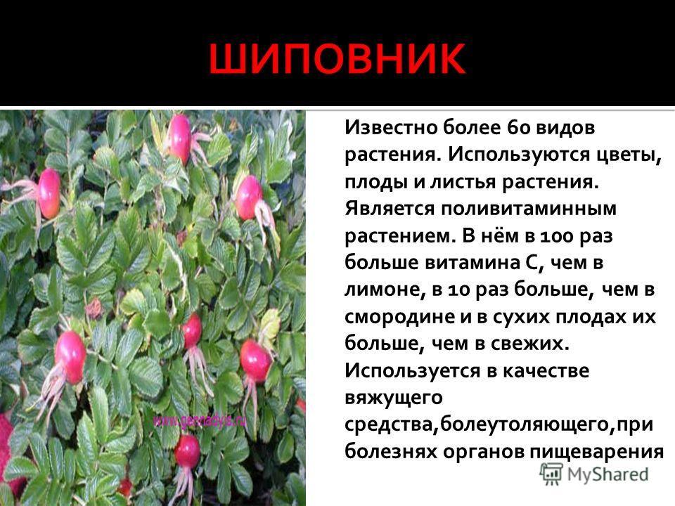 Известно более 60 видов растения. Используются цветы, плоды и листья растения. Является поливитаминным растением. В нём в 100 раз больше витамина С, чем в лимоне, в 10 раз больше, чем в смородине и в сухих плодах их больше, чем в свежих. Используется