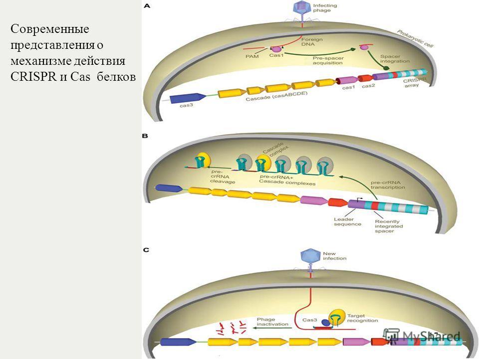 Современные представления о механизме действия CRISPR и Cas белков 17