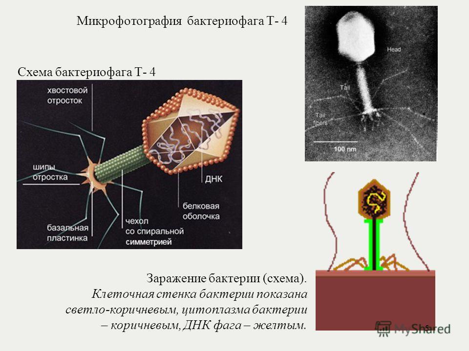 Схема бактериофага Т- 4 Микрофотография бактериофага Т- 4 Заражение бактерии (схема). Клеточная стенка бактерии показана светло-коричневым, цитоплазма бактерии – коричневым, ДНК фага – желтым. 5