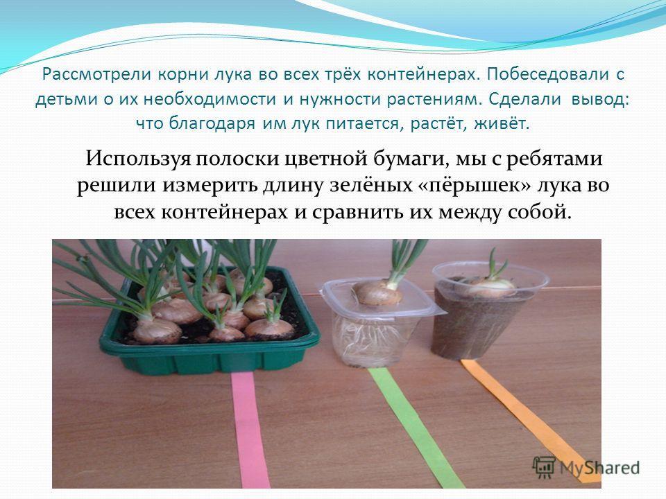 Рассмотрели корни лука во всех трёх контейнерах. Побеседовали с детьми о их необходимости и нужности растениям. Сделали вывод: что благодаря им лук питается, растёт, живёт. Используя полоски цветной бумаги, мы с ребятами решили измерить длину зелёных