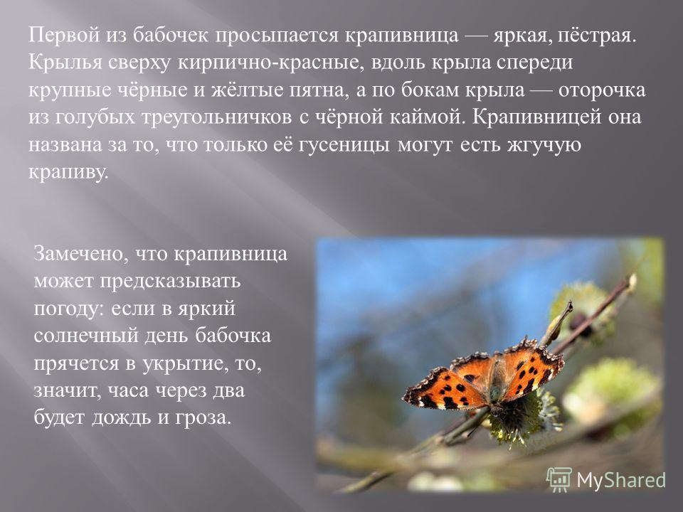 Первой из бабочек просыпается крапивница яркая, пёстрая. Крылья сверху кирпично - красные, вдоль крыла спереди крупные чёрные и жёлтые пятна, а по бокам крыла оторочка из голубых треугольничков с чёрной каймой. Крапивницей она названа за то, что толь