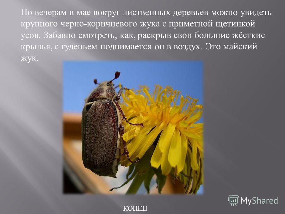 По вечерам в мае вокруг лиственных деревьев можно увидеть крупного черно - коричневого жука с приметной щетинкой усов. Забавно смотреть, как, раскрыв свои большие жёсткие крылья, с гуденьем поднимается он в воздух. Это майский жук. КОНЕЦ