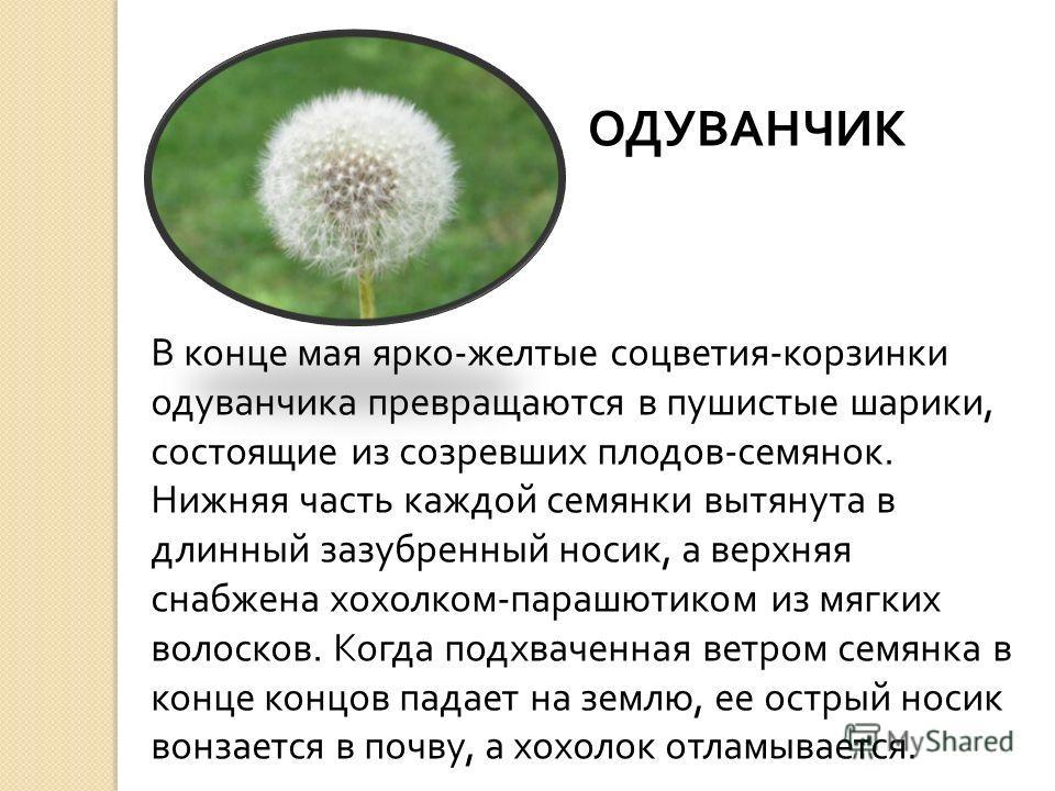 ОДУВАНЧИК В конце мая ярко - желтые соцветия - корзинки одуванчика превращаются в пушистые шарики, состоящие из созревших плодов - семянок. Нижняя часть каждой семянки вытянута в длинный зазубренный носик, а верхняя снабжена хохолком - парашютиком из