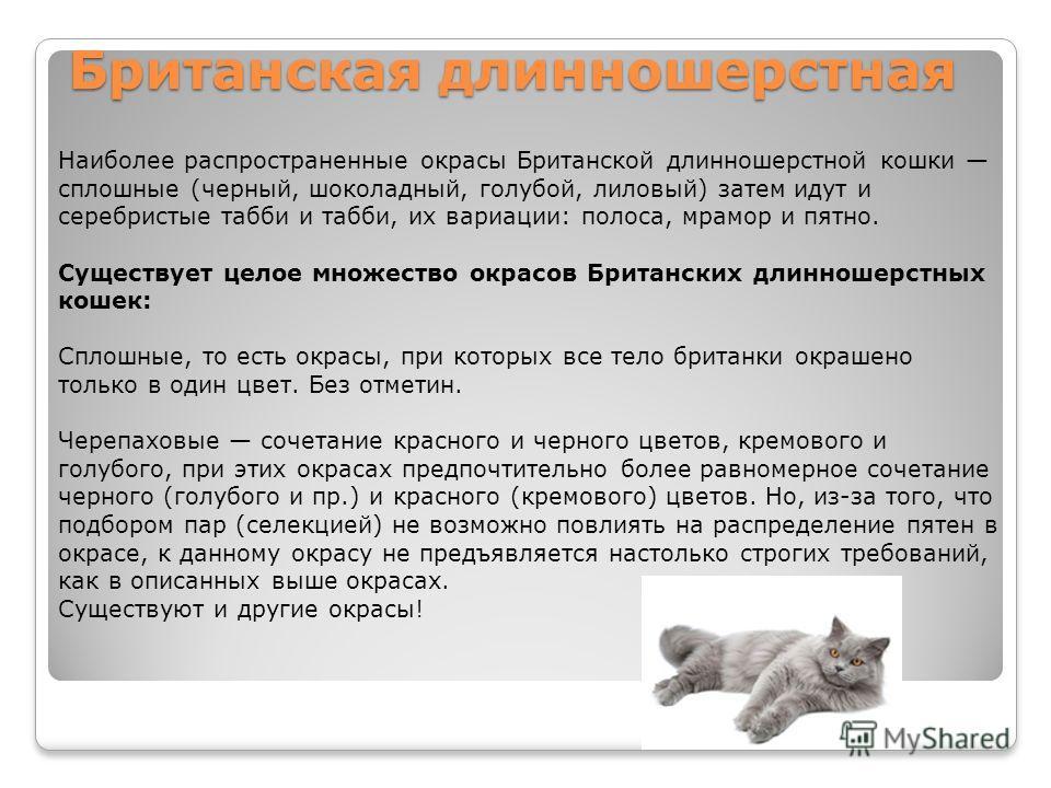 Британская длинношерстная Наиболее распространенные окрасы Британской длинношерстной кошки сплошные (черный, шоколадный, голубой, лиловый) затем идут и серебристые табби и табби, их вариации: полоса, мрамор и пятно. Существует целое множество окрасов