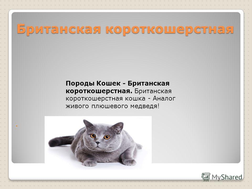 Британская короткошерстная Породы Кошек - Британская короткошерстная. Британская короткошерстная кошка - Аналог живого плюшевого медведя!