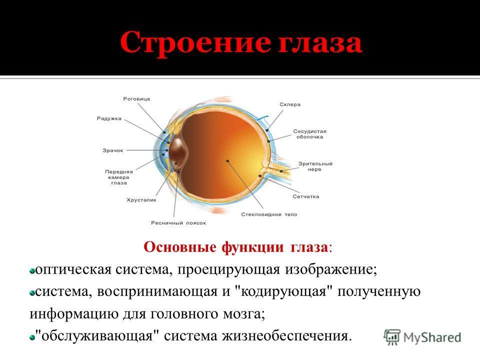Основные функции глаза: оптическая система, проецирующая изображение; система, воспринимающая и кодирующая полученную информацию для головного мозга; обслуживающая система жизнеобеспечения.