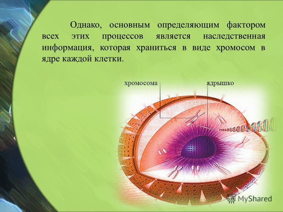 ядрышкохромосома Однако, основным определяющим фактором всех этих процессов является наследственная информация, которая храниться в виде хромосом в ядре каждой клетки.