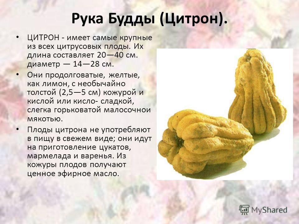 Рука Будды (Цитрон). ЦИТРОН - имеет самые крупные из всех цитрусовых плоды. Их длина составляет 2040 см. диаметр 1428 см. Они продолговатые, желтые, как лимон, с необычайно толстой (2,55 см) кожурой и кислой или кисло- сладкой, слегка горьковатой мал