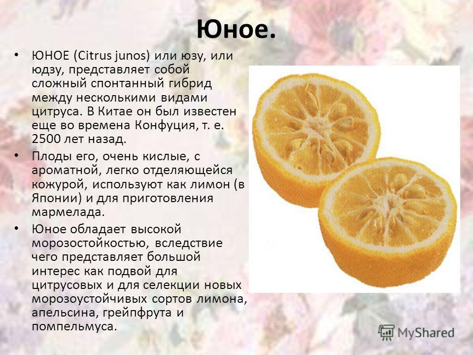 Юное. ЮНОЕ (Citrus junos) или юзу, или юдзу, представляет собой сложный спонтанный гибрид между несколькими видами цитруса. В Китае он был известен еще во времена Конфуция, т. е. 2500 лет назад. Плоды его, очень кислые, с ароматной, легко отделяющейс