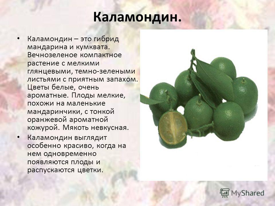 Каламондин. Каламондин – это гибрид мандарина и кумквата. Вечнозеленое компактное растение с мелкими глянцевыми, темно-зелеными листьями с приятным запахом. Цветы белые, очень ароматные. Плоды мелкие, похожи на маленькие мандаринчики, с тонкой оранже
