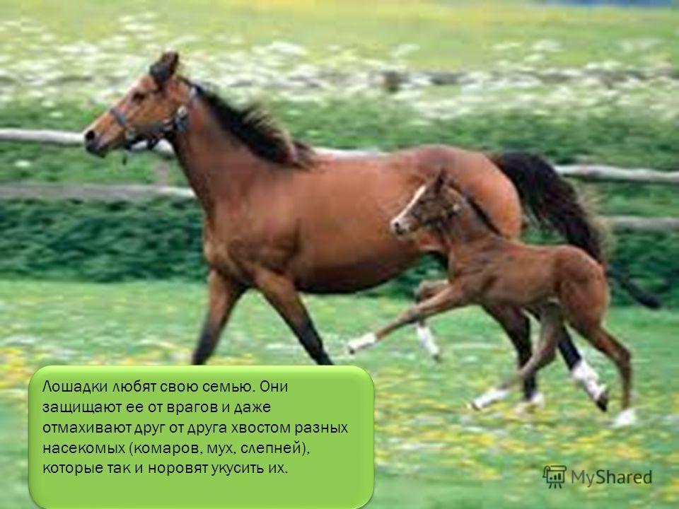 Есть у лошади ребенок, Он зовется жеребенок. Резвый, маленький, пригожий, На лошадку он похожий! Пьет кобылье молоко, Не уходит далеко, Вместе с лошадью пасется, Он на ласку отзовется! Жеребенок ест траву и гуляет по лугу. Скоро вырастет большой Конь