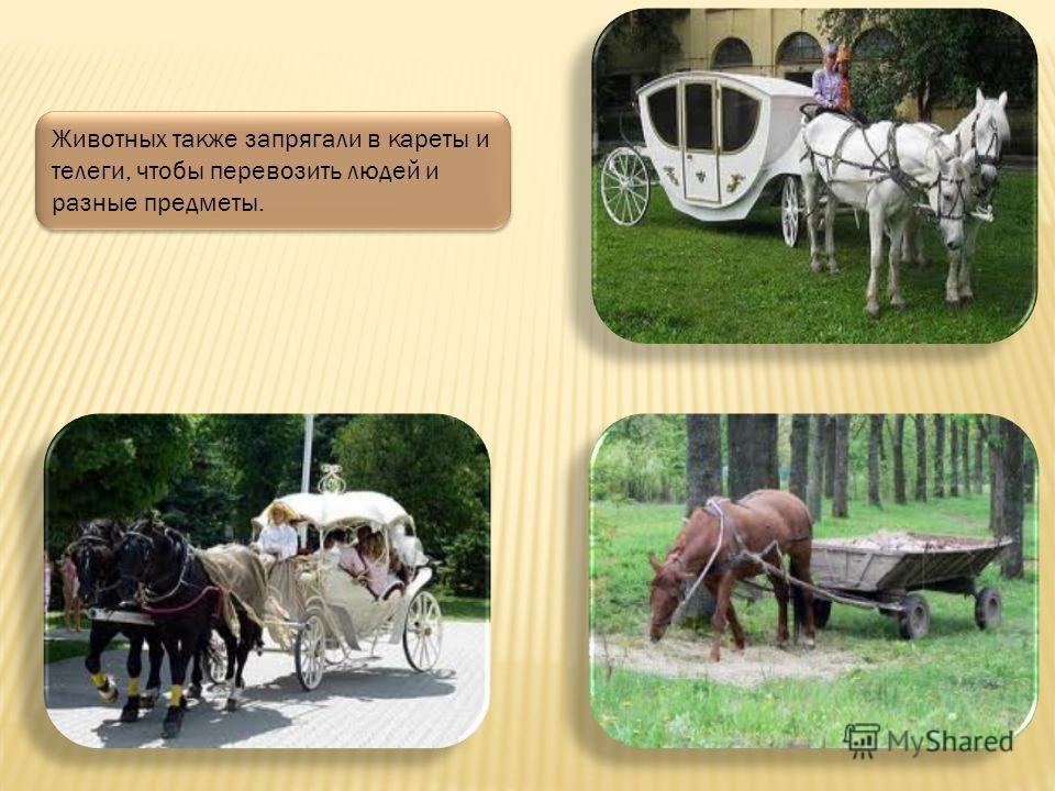 Раньше лошадок запрягали в плуги, чтобы вспахивать с их помощью поля, на которые потом высаживали овощи и злаки.