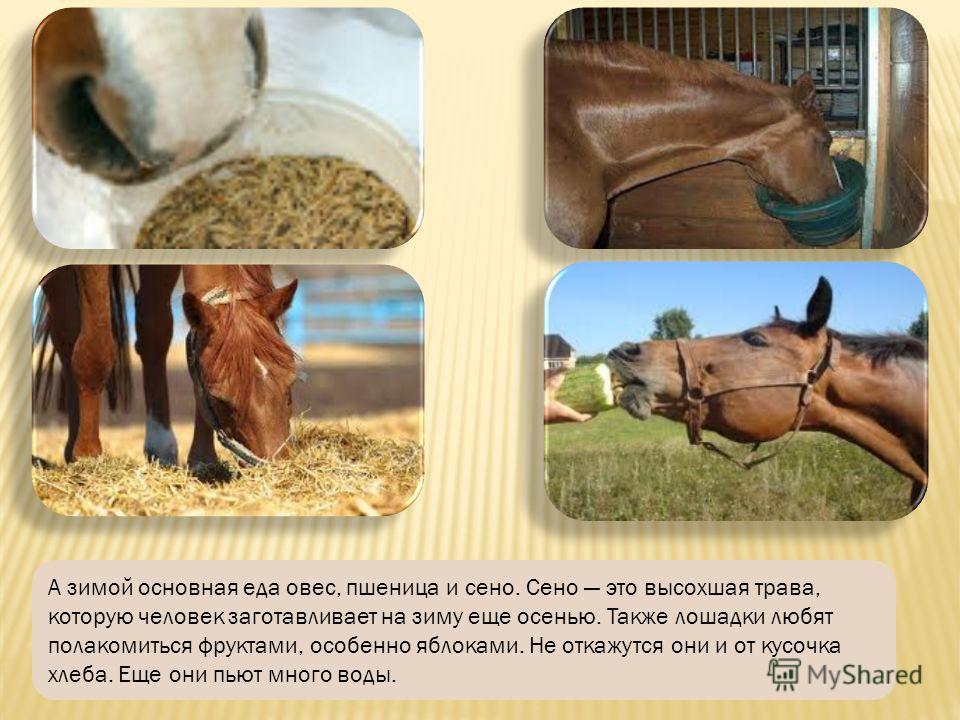 Летом лошадки едят траву и плоды, которые выкапывают из земли. Они находят себе еду на поляне и на лугу, куда их выпускают пастись на целый день.