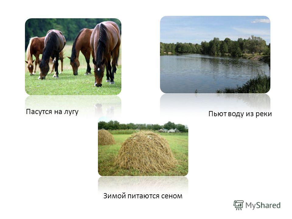 Пасутся на лугу Пьют воду из реки Зимой питаются сеном
